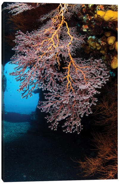 Colony Of Soft Corals On The USS Liberty Wreck, Tulamben, Indonesia Canvas Art Print