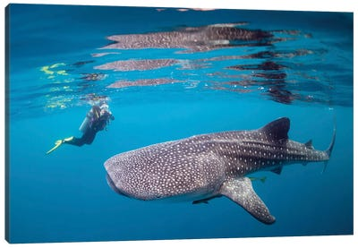 Diver Photographing A Whale Shark Canvas Art Print