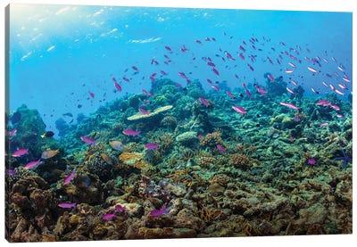 Fusilier Fish Wwimming The Reefs Of Maratua, Indonesia Canvas Art Print