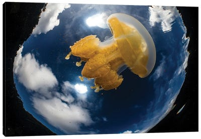 Golden Jellyfish And Clouds In Jellyfish Lake, Palau Canvas Art Print