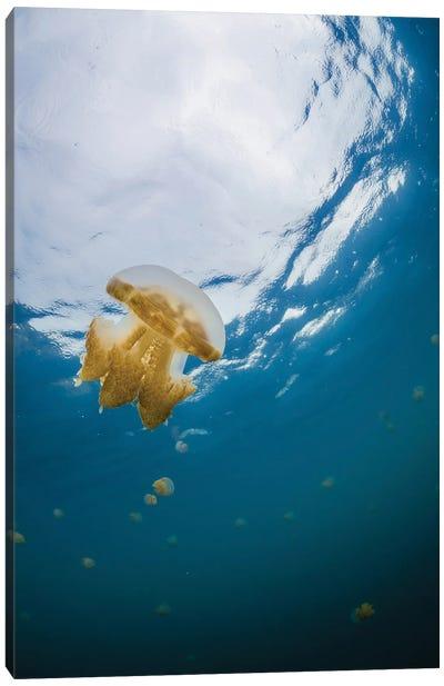 Golden Jellyfish, Kakaban, Indonesia Canvas Art Print