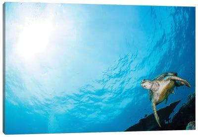 Green Sea Turtle Swimming Over A Coral Garden In Sipadan, Malaysia I Canvas Art Print