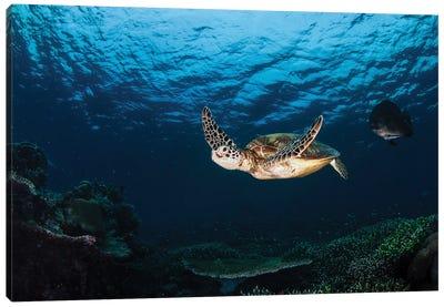 Green Sea Turtle Swimming Over A Coral Garden In Sipadan, Malaysia II Canvas Art Print