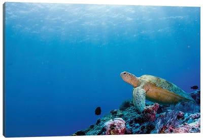 Green Turtle On The Reefs Surrounding Sipadan, Malaysia Canvas Art Print