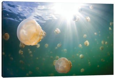 Group Of Golden Jellyfish In Jellyfish Lake, Palau I Canvas Art Print