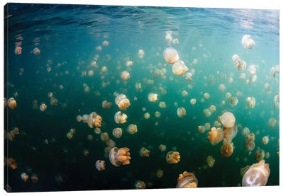 Group Of Golden Jellyfish In Jellyfish Lake, Palau II Canvas Art Print