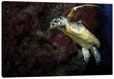 Hawksbill Sea Turtle In The Waters Of Sipadan, Malaysia Canvas Art Print