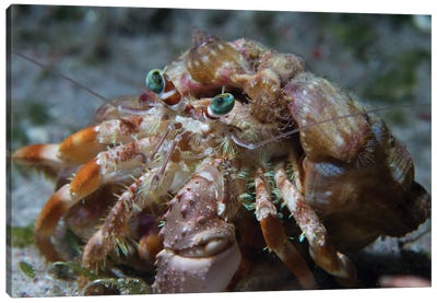 Hermit Crab In The Philippines Canvas Art Print