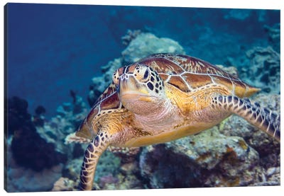 Portrait Of A Green Turtle In The Waters Of Maratua, Indonesia Canvas Art Print