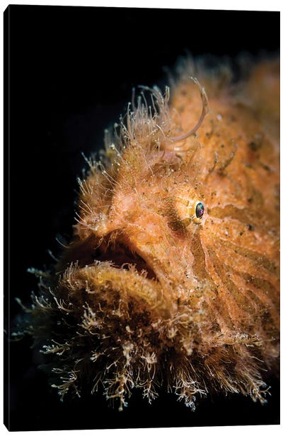 Portrait Of A Hairy Frogfish In Lembeh Strait, Indonesia Canvas Art Print