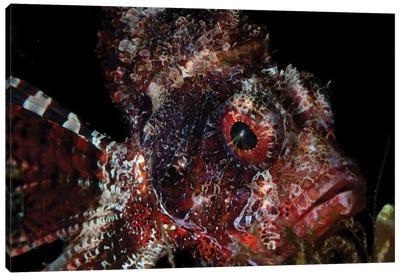 Portrait Of A Shortfin Lionfish, Lembeh Strait, Indonesia Canvas Art Print