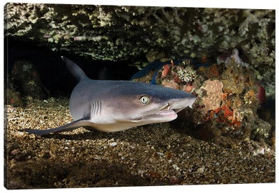 Portrait Of A Whitetip Reef Shark From Bali, Indonesia Canvas Art Print