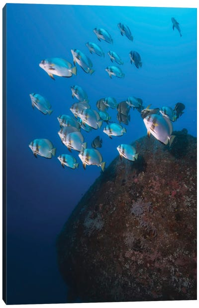 School Of Batfish Over The Wreck Of Alma Jane In The Philippines Canvas Art Print