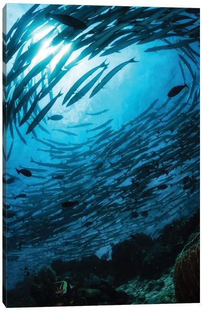 School Of Chevron Barracuda In The Waters Of Sipadan, Malaysia Canvas Art Print