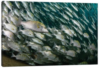 School Of Yellow Snapper In Cabo Pulmo, Mexico Canvas Art Print