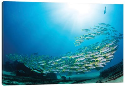 School Of Yellow Snapper Swimming Over The Wreck Of El Vencedor In The Sea Of Cortez Canvas Art Print