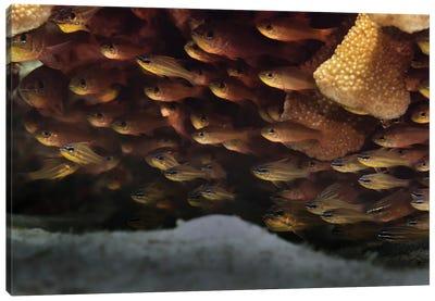 School Of Yellowstriped Cardinalfish Canvas Art Print