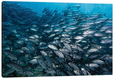 Schooling Jack Fish In The Waters Of Sipadan, Malaysia I Canvas Art Print