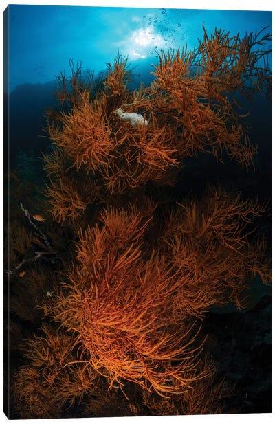 Soft Corals, Sipadan, Malaysia Canvas Art Print