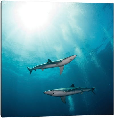 Two Blue Sharks, South Africa Canvas Art Print