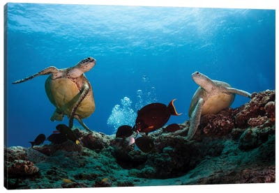 Two Green Turtles Swimming Over The Reefs Surrounding Sipadan, Malaysia Canvas Art Print