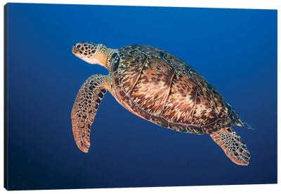 A Hawksbill Sea Turtle Surfacing For Air In Bonaire Canvas Art Print
