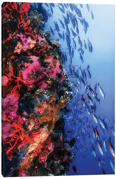 A School Of Rainbow Runners Swimming A Reef, Philippines Canvas Art Print