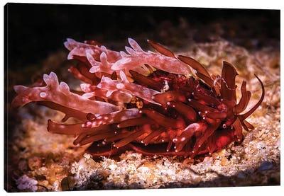 Brownish Colored Slug-Like Cowry, Philippines Canvas Art Print