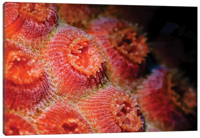 Cup Coral Polyps In Bonaire, Caribbean Netherlands Canvas Art Print