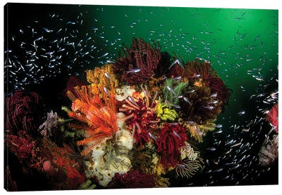 Green Water, Colorful Corals And Glassfish In Komodo National Park, Indonesia Canvas Art Print