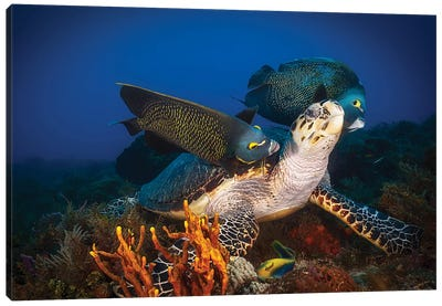 Hawksbill Sea Turtle Getting Cleaned By French Angelfish, Cozumel, Mexico Canvas Art Print
