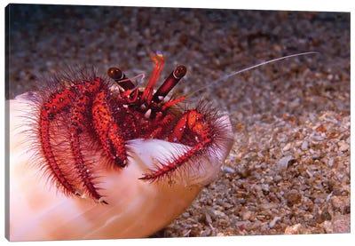 Hermit Crab In Sea Shell, Puerto Galera, Philippines Canvas Art Print
