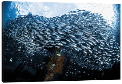 Large School Of Scad Fish Congregate Underneath A Jetty In Raja Ampat, Indonesia Canvas Art Print