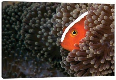Orange Skunk Clownfish Peeks Out From Its Host Sea Anemone Canvas Art Print