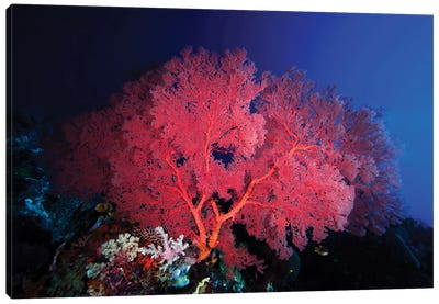 Pink Gorgonian Coral Adorns A Reef In Wakatobi National Park, Indonesia Canvas Art Print