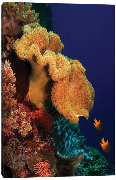 Reef Scene With Yellow Soft Coral In Wakatobi National Park, Indonesia Canvas Art Print