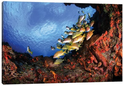 Yellow Grunts And A Colorful Coral Reef In Cozumel, Mexico Canvas Art Print