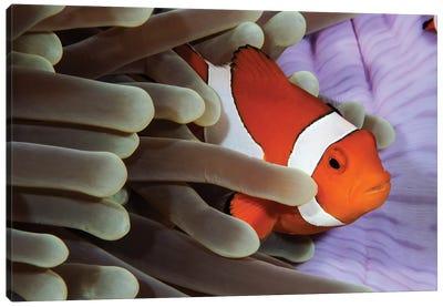 Clown Anemonefish, Indonesia Canvas Art Print