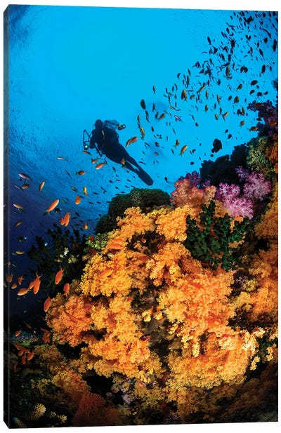 Diver And Soft Coral, Fiji Canvas Art Print