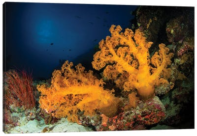 Orange Soft Coral And Sea Whip, Australia Canvas Art Print