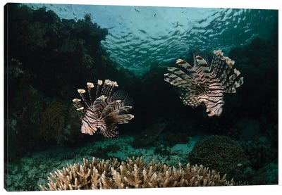 Pair Of Lionfish, Indonesia I Canvas Art Print