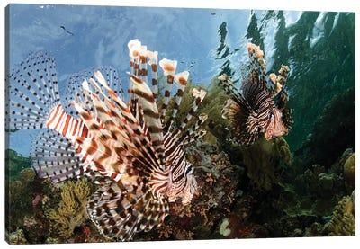 Pair Of Lionfish, Indonesia II Canvas Art Print