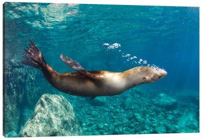 Sea Lion Blowing Bubbles, Los Islotes, La Paz, Mexico Canvas Art Print