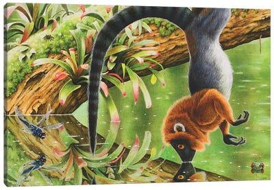 Darwinius Masillae Hanging From A Branch To Drink Canvas Art Print