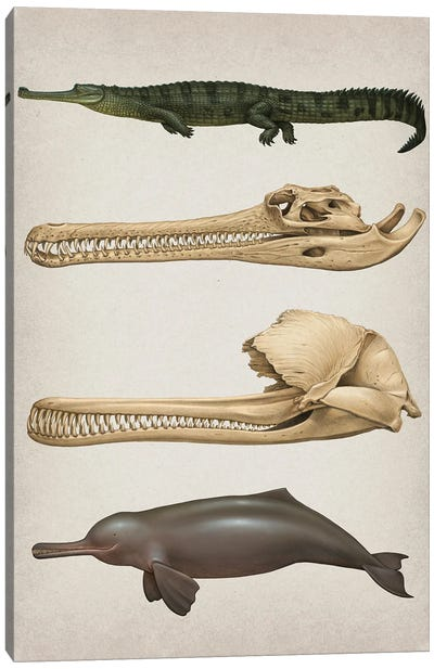 Convergent Evolution Of The Skull In River Dolphins And Gharials Canvas Art Print