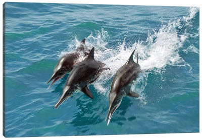 Three Stenopterygius Swim At Full Speed On The Surface Of The Waves Canvas Art Print