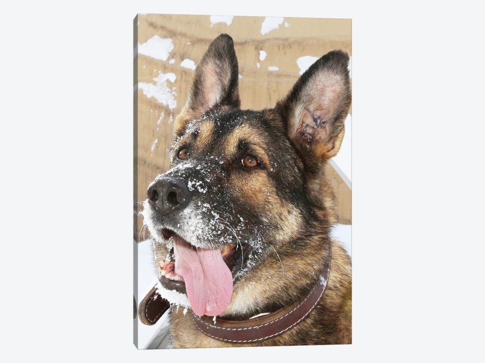 Close-Up Of A Military Working Dog by Stocktrek Images 1-piece Art Print