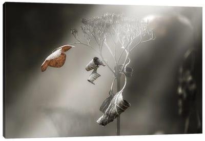 Withe Hydrangea Canvas Art Print