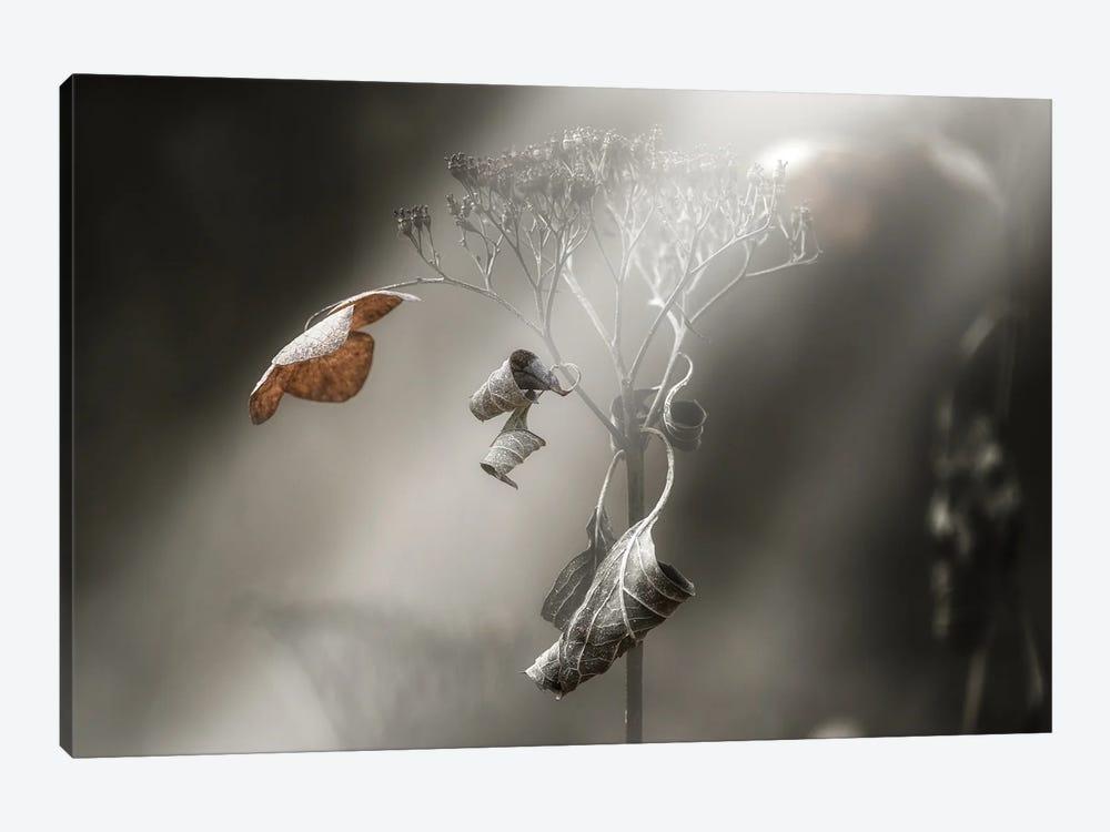 Withe Hydrangea by Takashi Suzuki 1-piece Canvas Artwork