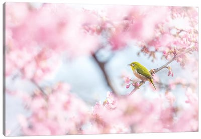 Cherry-Blossom Color I Canvas Art Print